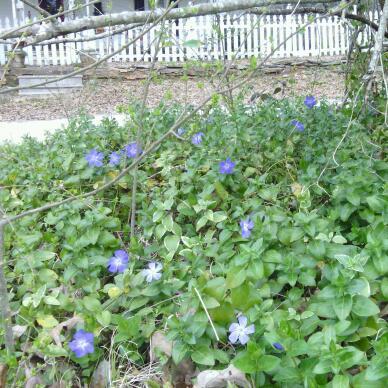 purple periwink